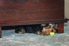 De spelen van weinig Yorkshire Terrier met een bal in het kader van de lijst Royalty-vrije Stock Foto's