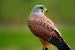 De sperwer van vogelfalco, Amerikaanse torenvalk stock fotografie