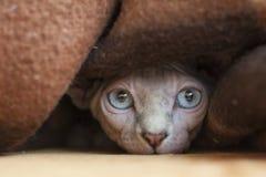 De Sphynx-kat is een ras van kat voor zijn gebrek aan laagbont dat wordt gekend Het werd ontwikkeld door het selectieve fokken, a stock afbeeldingen