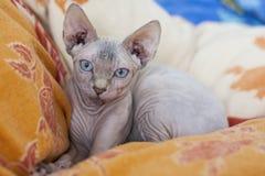 De Sphynx-kat is een ras van kat voor zijn gebrek aan laagbont dat wordt gekend Het werd ontwikkeld door het selectieve fokken, a royalty-vrije stock afbeelding