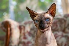 De Sphynxkat mauwt op een grappige manier royalty-vrije stock foto