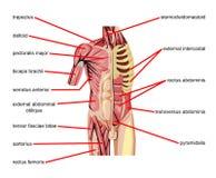 De spieren van het lichaam stock illustratie