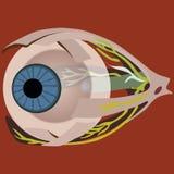De spieren van het oog stock illustratie