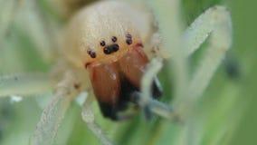 De spin die van Cheiracanthiumpunctorium zijn benen schoonmaken stock video