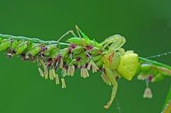 De spin die van de krab een sprinkhaan eet stock foto