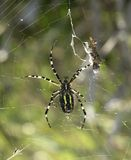 De spin en de prooi van de wesp Royalty-vrije Stock Afbeeldingen