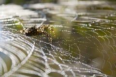 De spin en het waterdruppeltjes van het Web in de wildernis. Stock Fotografie