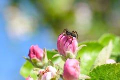 De spin kruipt over de appelbloem in de tuin, tuinongedierte, schade aan de appelbloem stock fotografie