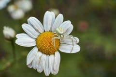 De spin op bloem jaagt vliegende insecten Stock Fotografie