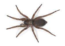 De spin van de grond (Gnaphosidae) Stock Foto