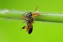 De spin van de krab eten bijen stock foto
