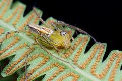 De spin van de lynx Royalty-vrije Stock Fotografie