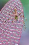 De spin van de lynx Royalty-vrije Stock Foto