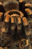 De spin van de tarantula Royalty-vrije Stock Foto