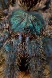 De spin van de tarantula Royalty-vrije Stock Afbeeldingen