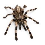 De spin van de tarantula, Poecilotheria Miranda Stock Foto's