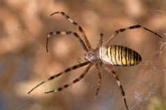 De spin van de wesp Royalty-vrije Stock Afbeeldingen