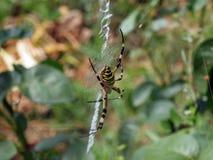 De spin van de wesp Stock Foto's