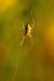 De spin van de wesp Stock Afbeelding