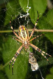 De spin van de wesp (bruennichi Argiope) Stock Foto's