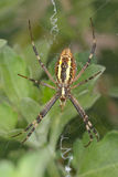 De spin van de wesp - bruennichi Argiope Stock Foto
