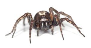 De spin van de wolf die op witte achtergrond wordt geïsoleerda Stock Fotografie