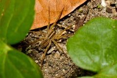 De spin van de wolf het verbergen tussen doorbladert in de wildernis. Stock Fotografie