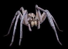 De spin van de wolf op zwarte royalty-vrije stock foto