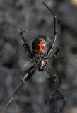 De Spin van de zwarte weduwe Stock Afbeeldingen