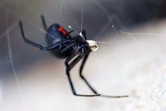 De spin van de zwarte weduwe Stock Fotografie
