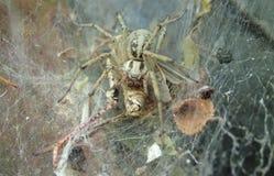 De spin van het trechterweb met een sprinkhaan Stock Afbeelding