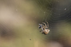 De spin vangt een wesp Stock Afbeelding