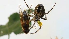 De spin ving een vlieg stock videobeelden