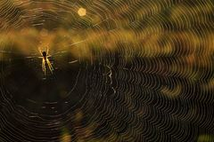 De spin weeft het spinneweb in een de zomerochtend stock afbeelding