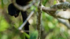 De spinaap met zwarte kop Ateles fusciceps hangt op een boom in het Nationale Park van Corcovado in Costa Rica stock foto