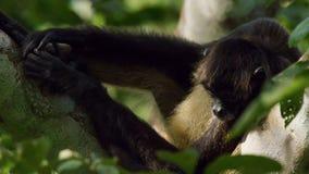 De spinaap met zwarte kop Ateles fusciceps hangt op een boom in het Nationale Park van Corcovado in Costa Rica stock afbeelding
