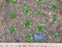 De spinazieinstallaties van Nieuw Zeeland in een tuinperceel Royalty-vrije Stock Afbeelding