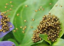 De spinnen van de baby Royalty-vrije Stock Fotografie