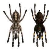 De spinnen van de tarantula, Poecilotheria Metallica stock foto's