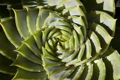 De spiraal vormde succulente installatie Stock Afbeeldingen