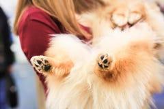 De spitz hond die op zijn rug in handen van meisje liggen Potenclose-up Stock Foto