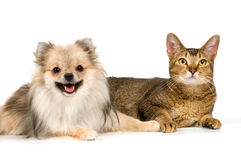 De spitz-hond en de kat Stock Afbeeldingen