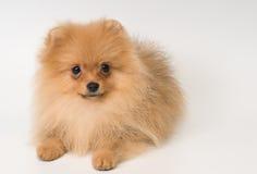 De spitz-hond van Pomeranian in studio stock foto's