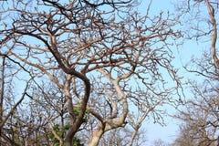De spookboom van pench nationaal park, madhyapradesh, India, het verandert zijn kleur met seizoenen, ook fluorescent kijk in maan stock foto's