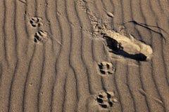 De sporen van de mens en van de hond op een achtergrond van zandgolven Stock Foto's