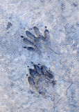 De Sporen van de wasbeer Stock Foto