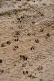 De Sporen van wit-staartherten in Zand Royalty-vrije Stock Afbeeldingen