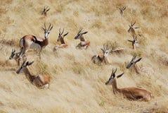 De springbok die van de groep in het gras, Namibië ligt stock foto