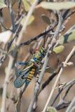 De Sprinkhaan van regenboogbush op tak stock afbeelding