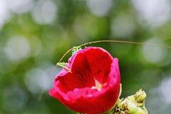 De sprinkhanenogen kijken uit van achter een bloemmalve Royalty-vrije Stock Afbeeldingen